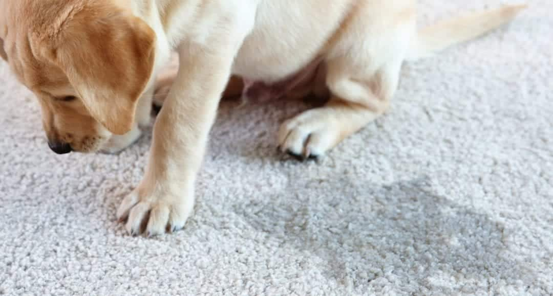 3 Tips for Pet Owners: Extending the Life of Carpets & Rugs