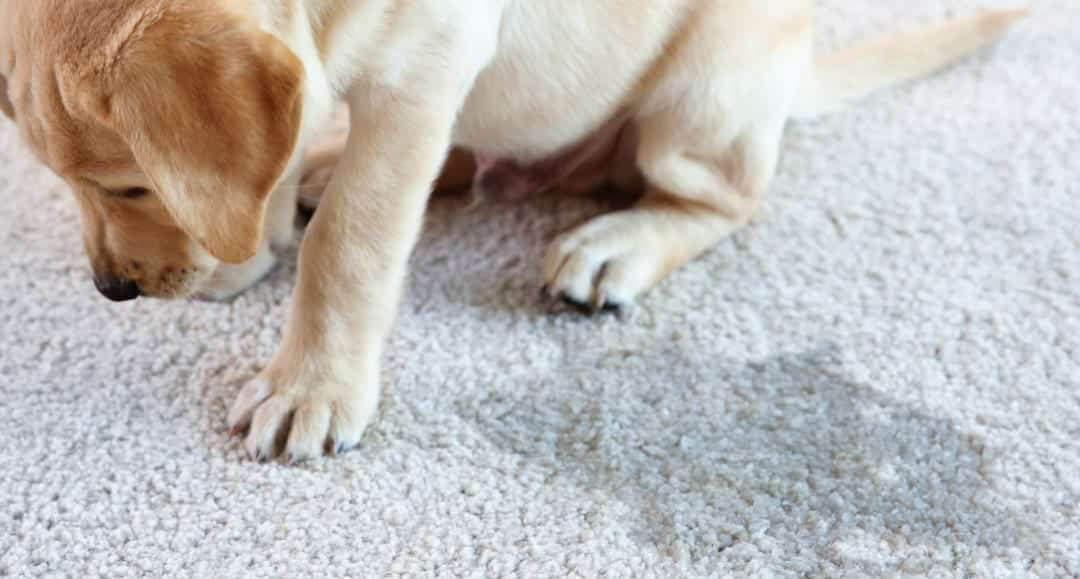 How To Clean Dog Urine Sns Off Hardwood Floors Carpet